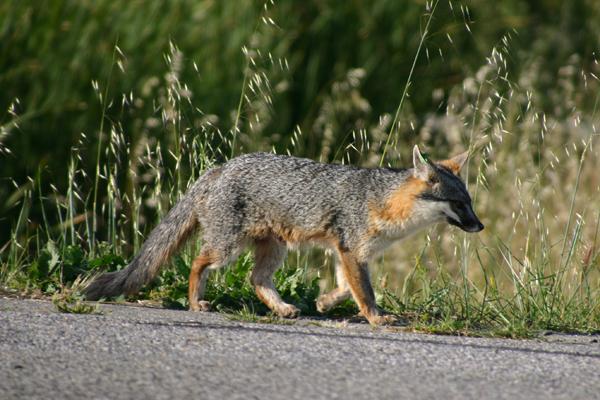 A gray fox crossing the road