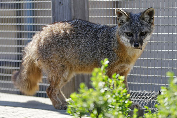 Wayne, a San Clemente fox that was rescued by civilian wildlife biologist. The species was endangered from Navy bombardment in years past but now thrives with the help scientist and Navy cooperation. Lenny Ignelzi/AP