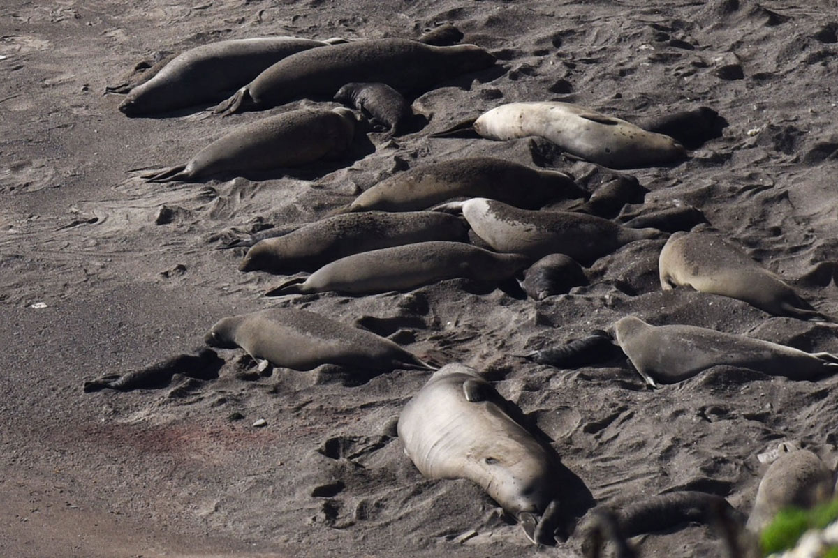 elephant seal rookery found at vandenberg  1st in 30 years