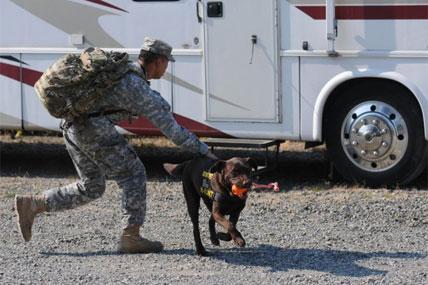 Military working dog 428x285
