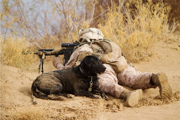 Marine and IED Detector Dog 600x400