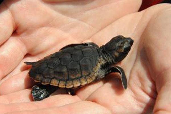 baby sea turtle 600x400