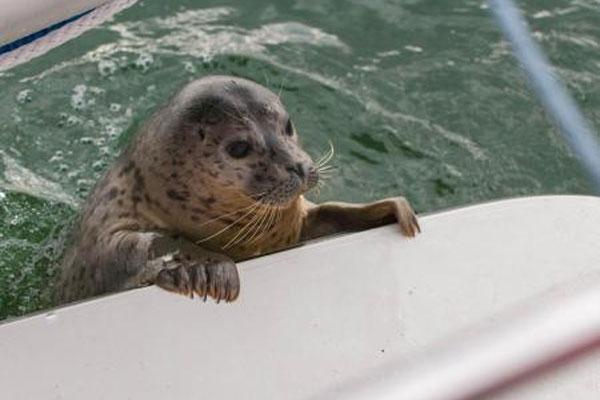 rehabilitated harbor seal pup 600x400