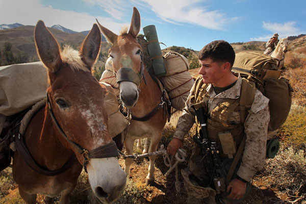 Military pack animals